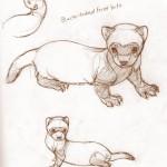 Black-footed ferret kit