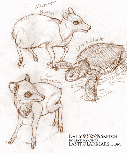 Malay Mouse Deer
